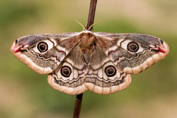 Goat-Fell-Emperor-moth-0218_74030d75633b733c59b6042fd3133195