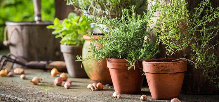 Herbs to Help Dementia